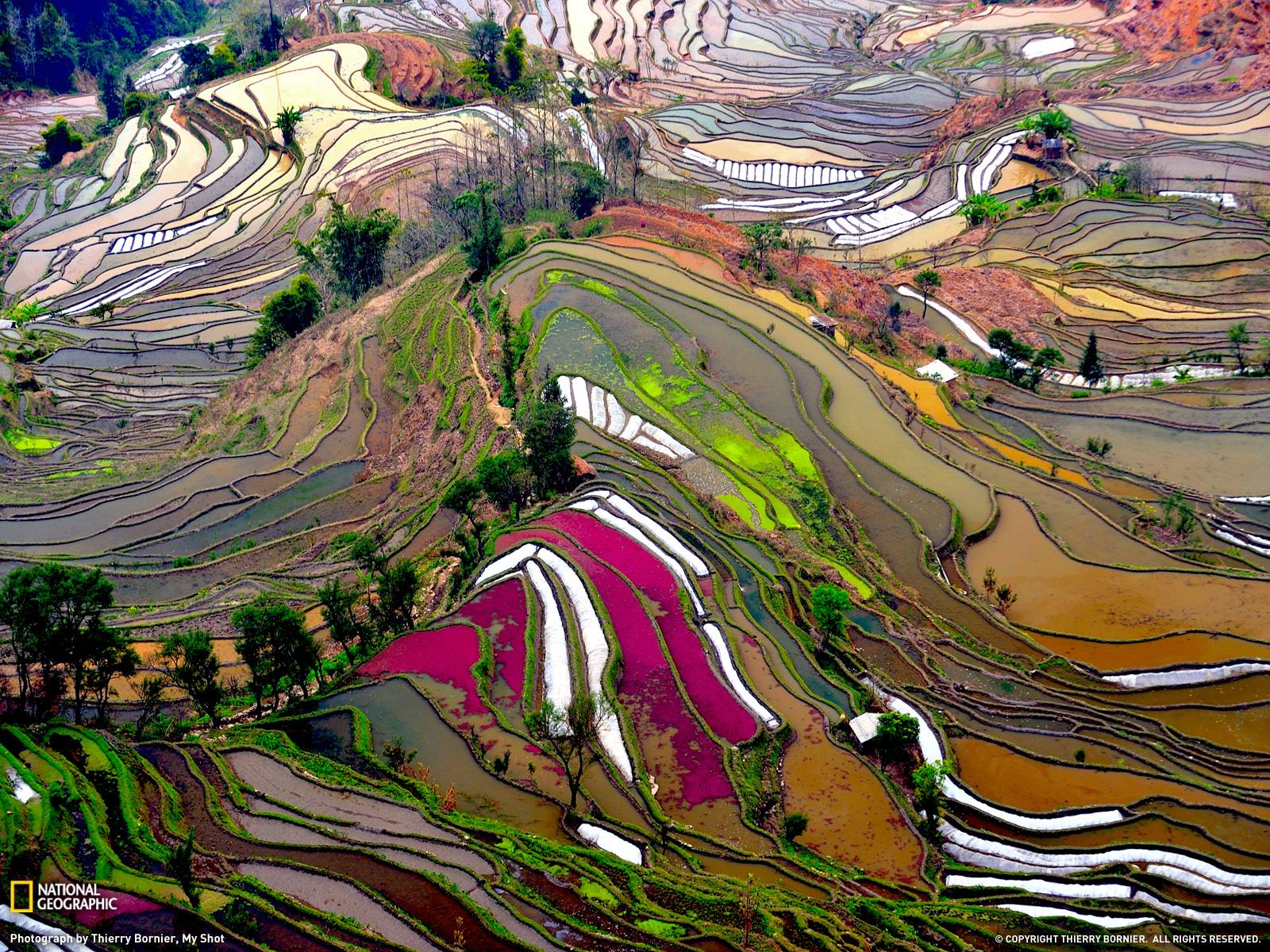 riisipõllud